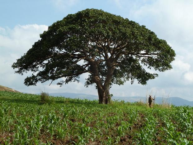 Amontana l'arbre des rois