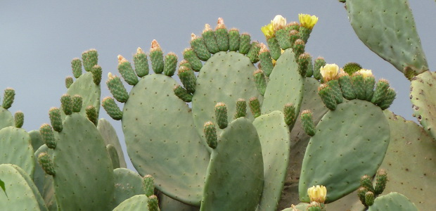 cactus raquette en fleurs