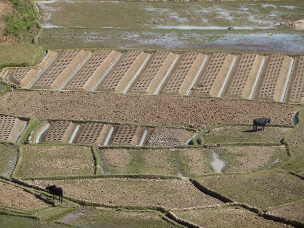 culture rizières