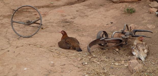 la poule gardienne des lieux