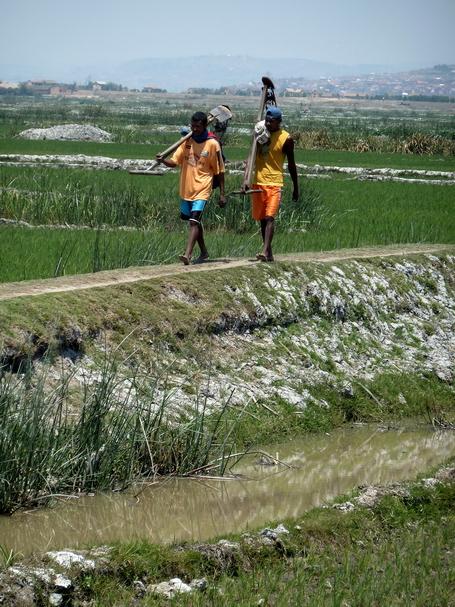 les laboureurs en rizières