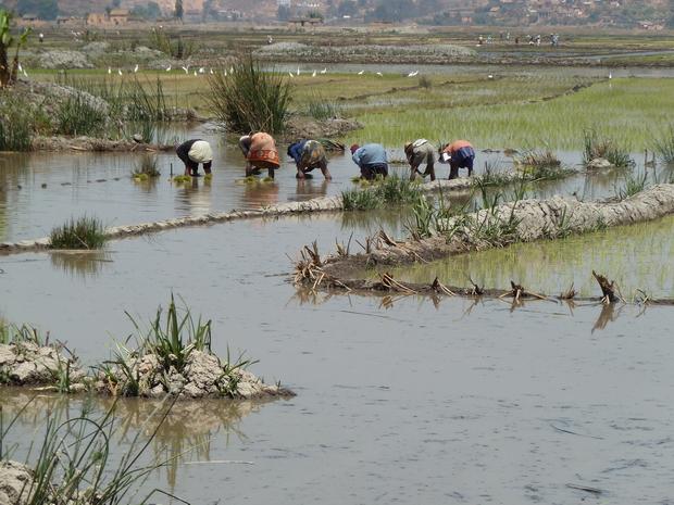 La plaine irriguée du Betsimitatatra, dans laquelle est cultivé l'essentiel de la production de la capitale, en riz de première saison ou vary aloha, bénéficie d'une bonne maîtrise de l'eau et de rendements supérieurs à la moyenne malgache.