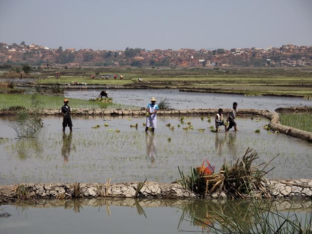 tandis que le riz de deuxième saison (vary vakiambiaty sur les Hauts plateaux, makalioka et vary bota du lac Alaotra, vary be du Moyen-Ouest, vary asara et vary atriatri à Marovoay...) est récolté en fin de période de soudure à partir de mars. http://www.jle.com/e-docs/00/03/FE/E9/article.md?fichier=images.htm