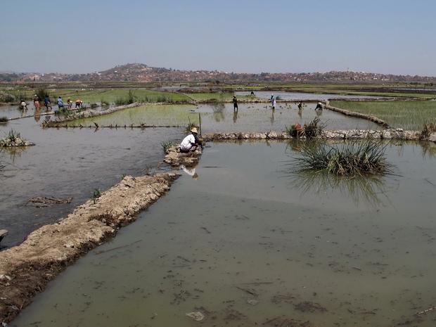 Le riz de première saison ou précoce (vary aloha sur les Hauts plateaux, vary jeby à Marovoay...) est récolté à Madagascar juste avant la saison des pluies en fin d'année
