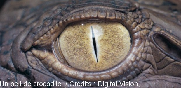 Un oeil de crocodile. / Crédits : Digital Vision