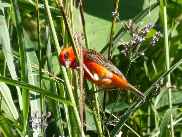 fodi cardinal