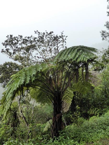 fougère arboricole