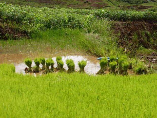 """""""taniketsa"""" le jeune riz est mis en botte pour le repiquage du riz"""