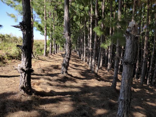 forêt de pins massif Antsahamanatrika