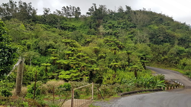 Fougères arborescentes de la ravine Manapany