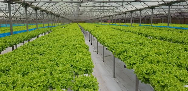 salades sous serres