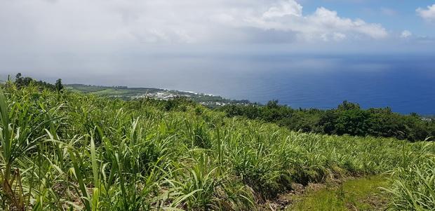 Forêt de Mare Longue entre cannes et cocotiers